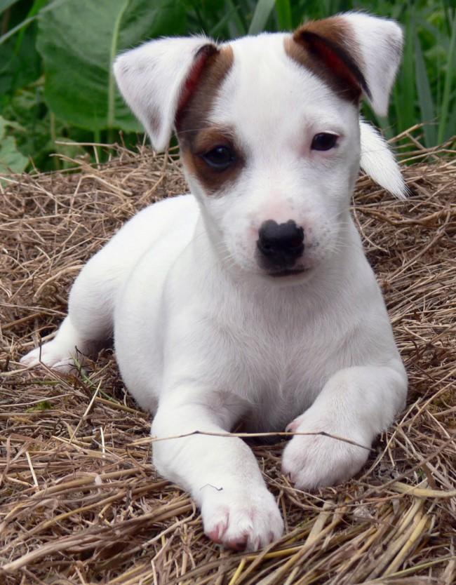 сколько стоит щенок джек-рассел-терьера