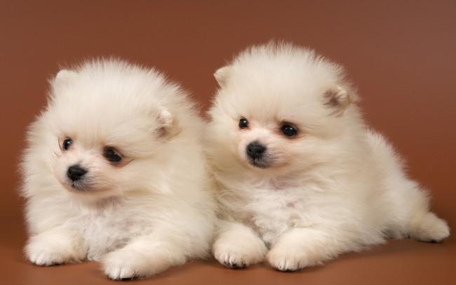 два щенка померанца