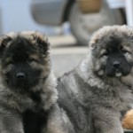 два щенка кавказской овчарки