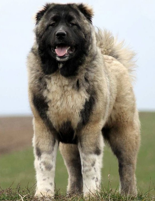 http://mybarbos.com/wp-content/uploads/2015/12/Caucasian-Shepherd-Dog-2.jpg