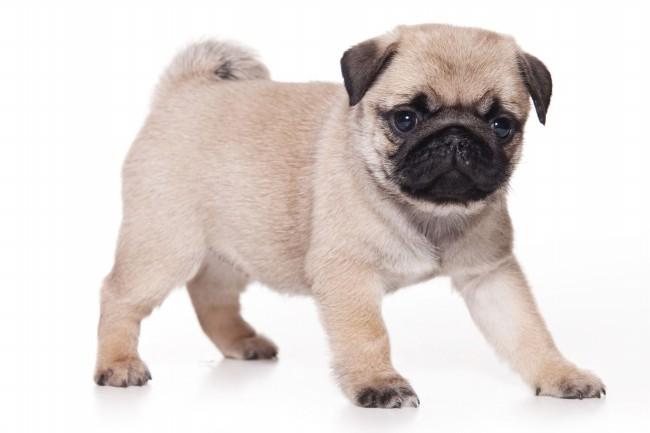 бежевый щенок мопса