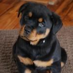 щенок-подросток породы ротвейлер