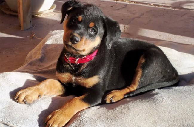 цена на щенка породы ротвейлер