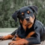 шикарная собака породы ротвейлер