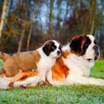 щенок и сука породы сенбернар