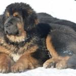 тибетский мастиф на снегу