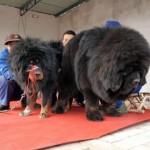 два лохматых тибетских мастифа