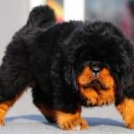 шикарный щенок тибетского мастифа