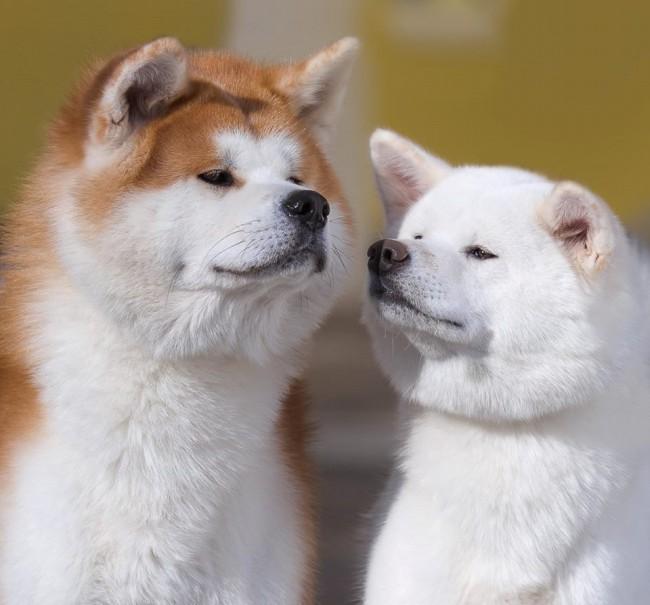 сколько стоит щенок акита-ину