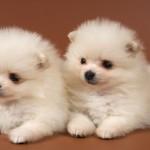 чау-чау фото щенков