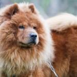 порода собак чау-чау