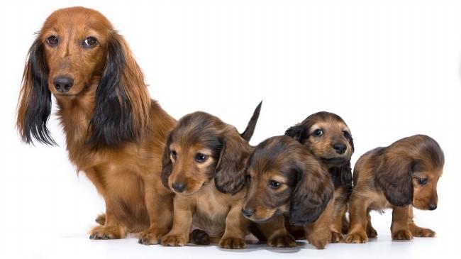 сколько стоит такса щенок