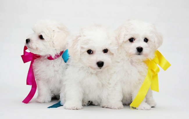 маленькая порода собак фишон фризе