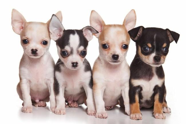 маленькая порода собак чихуахуа