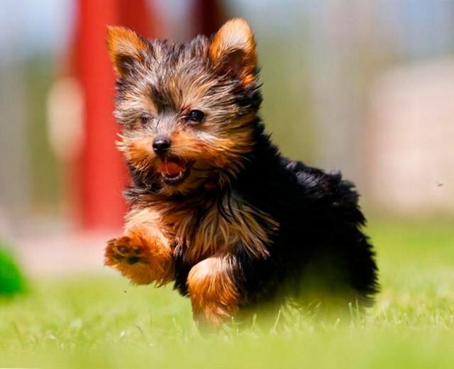 Собаки ёршинский терьер питание и уход