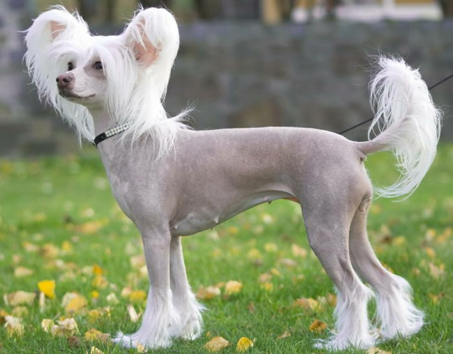 китайская хохлатая порода собака фото