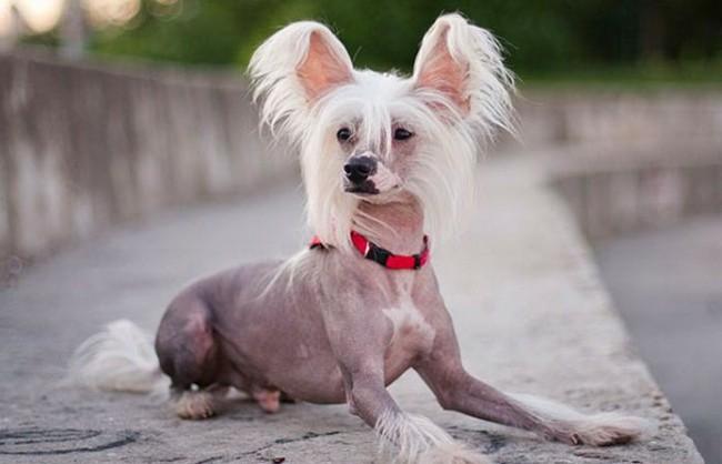 маленькая порода собак китайская хохлатая