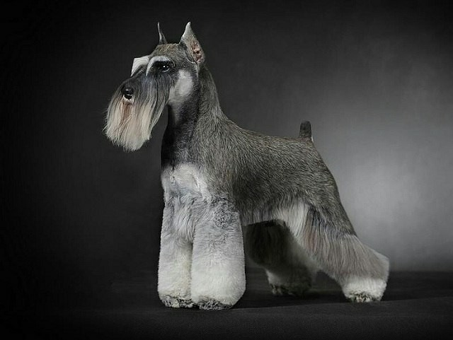 серый цвергшнауцер фото