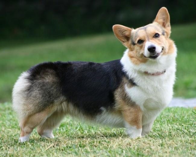 породы собачек маленьких с фото