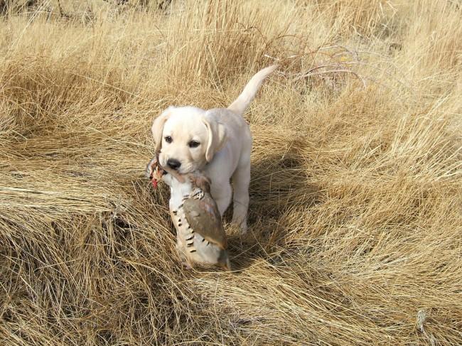 щенок породы лабрадор ретривер