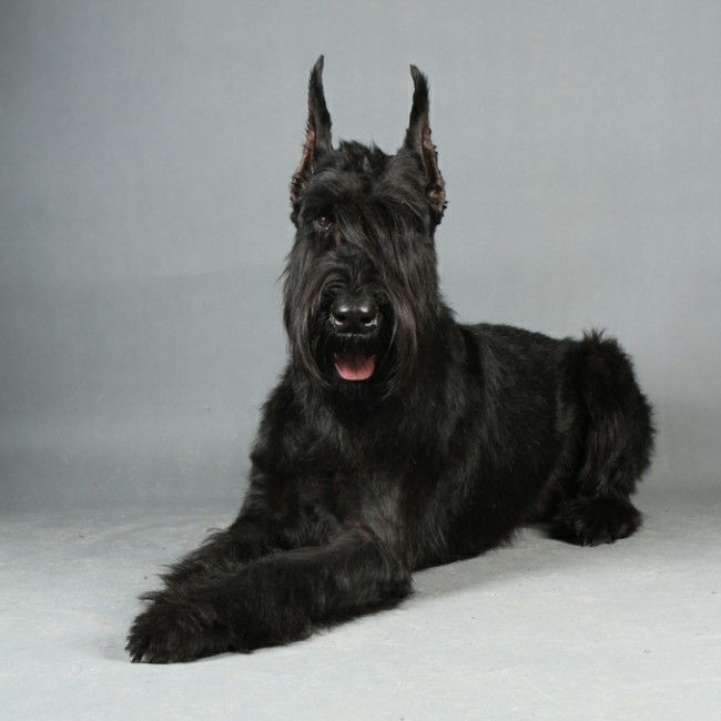 характеристика породы собак ризеншнауцер