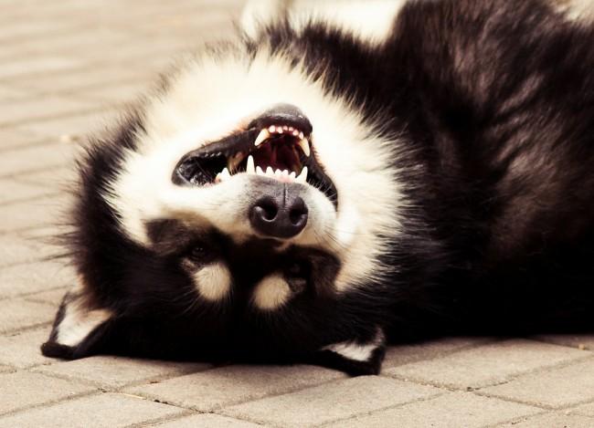 купить собаку породы аляскинский маламут