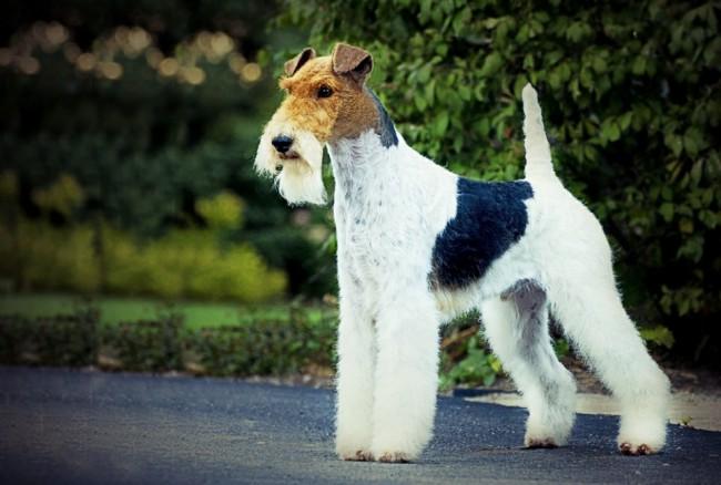 порода собак фокстерьер фото