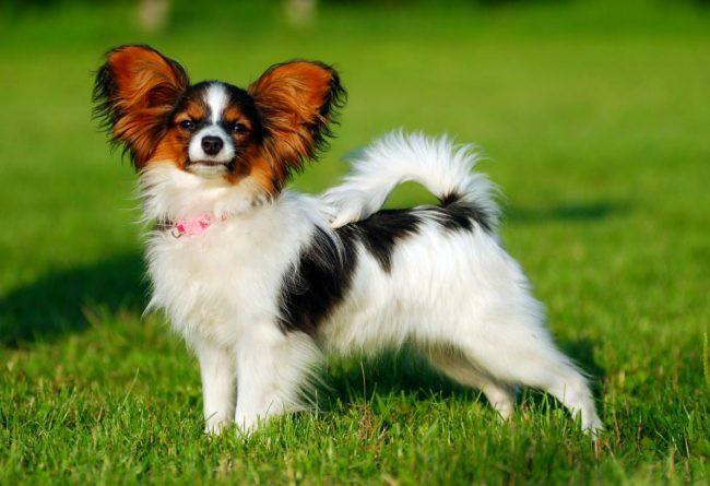 папийон собака фото