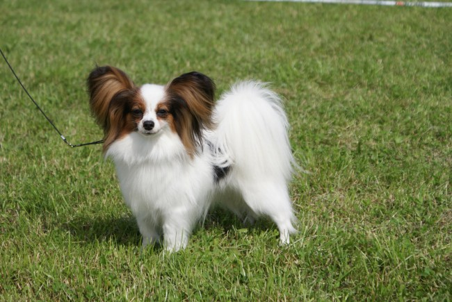 собака мотыльок папийон