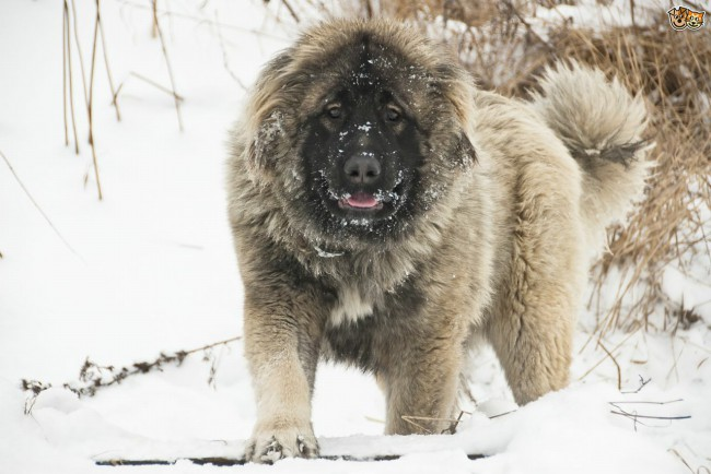 собака кавказская овчарка