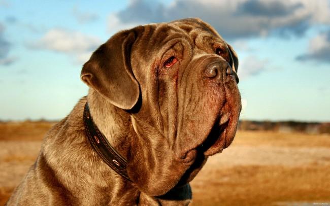 порода собак мастино неаполитано