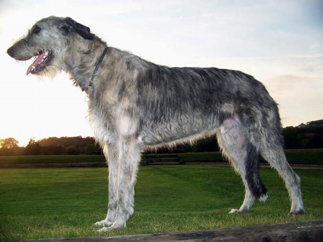 ирландский волкодав фото