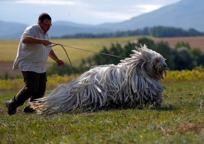 венгерская овчарка фото