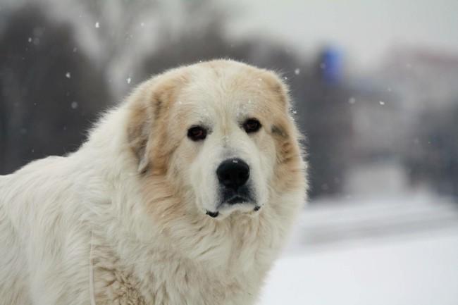 порода собак горная пиренейская собака