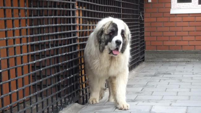 порода собак пиренейский мастиф