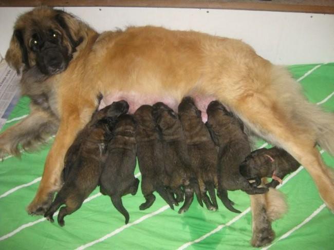 леонбергер фото щенки цена