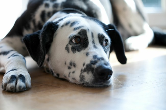 Что такое чумка у собак
