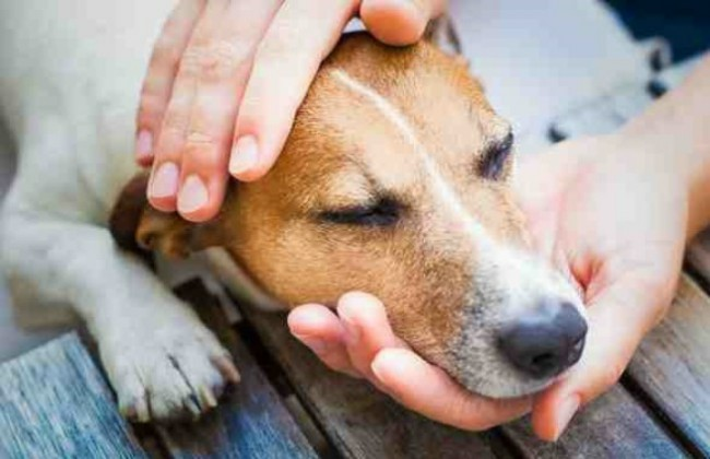 Что делать если у собаки чумка