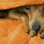 лечение чумки у собак в домашних условиях