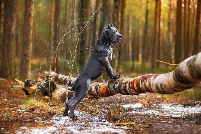 бойцовские собаки фото