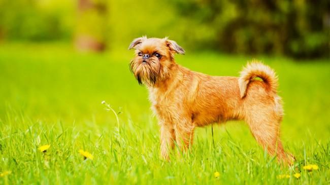 Брюссельский гриффон фото собаки