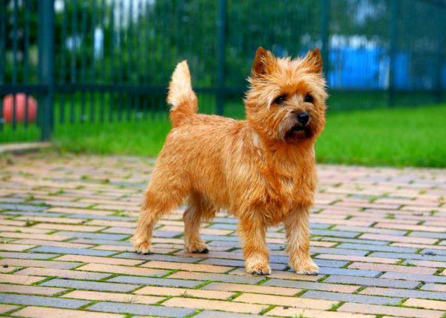 керн-терьер фото собаки