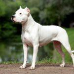 гладкошерстные породы собак фото