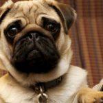 собаки для квартиры и детей