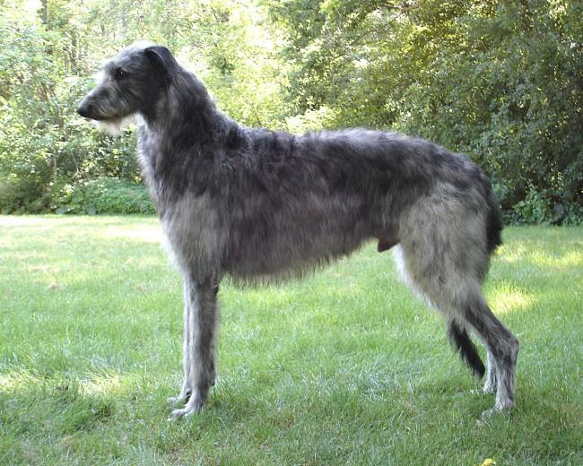 Дирхаунд фото собаки