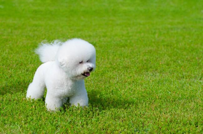 Бишон фризе гипоаллергенная собака