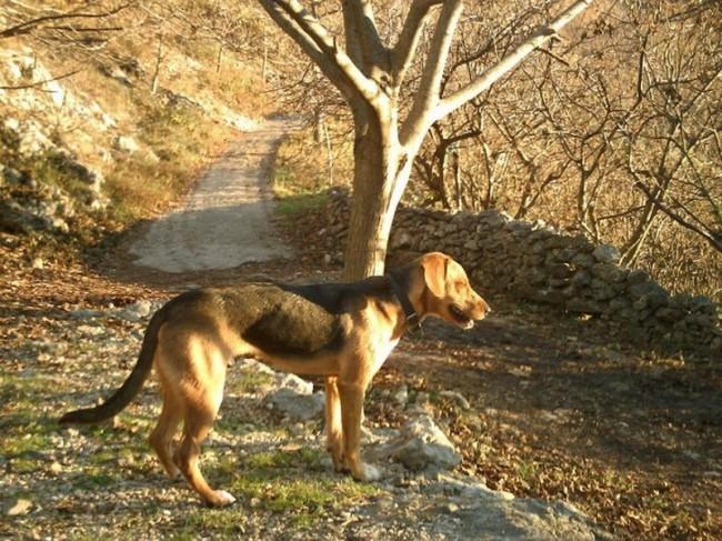 Сербская гончая (балканская гончая) фото