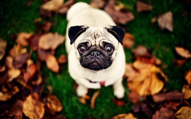 Мопс фото собаки