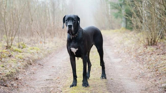 немецкий дог - все породы собак