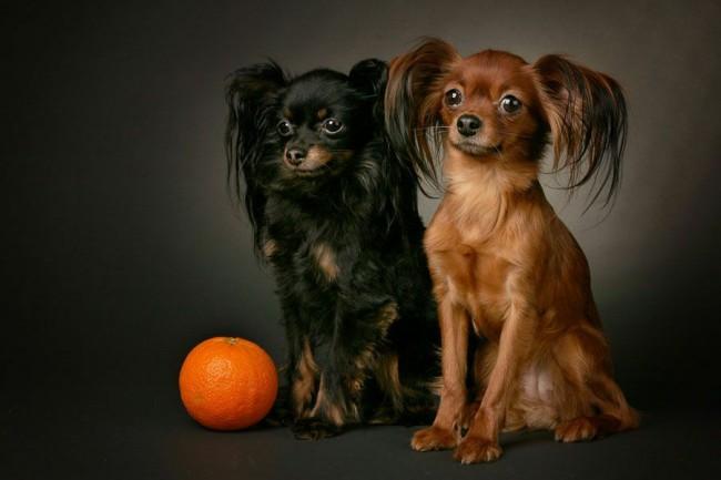 русский той терьер фото собак